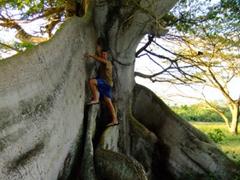 Robby climbs up a portion of the Ceiba tree
