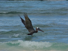 The pelicans were having a feast just offshore at Playa Flamenco; Culebra