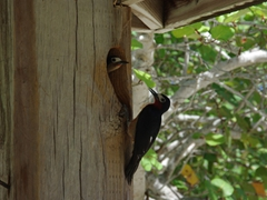 Close up of the elusive Puerto Rican Woodpecker