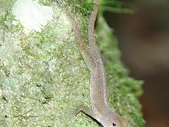 Close up of a lizard; El Yunque