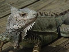 Close up of the friendly iguana at Mamacitas