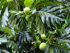 Fresh fruits growing within arm's reach; Castries