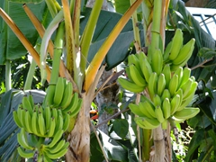 Fresh bananas in pretty St Lucia