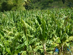 One of St Lucia's many banana plantations