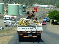 Um, this might violate some safety laws...man sitting on ladder on top of truckful of coconuts at high speed?