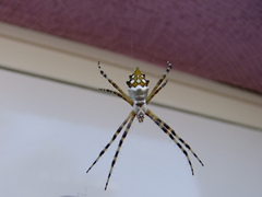 Close up of a spider; Basseterre harbor