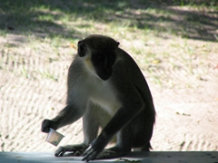 Profile of a green vervet monkey