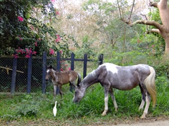 Hungry horses grazing by the roadside