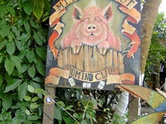 The world famous beer drinking pigs of Mt Pellier's Domino Club