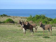 Wild Nevian donkeys
