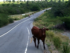 A startled cow checks us out as we zoom past on our bikes