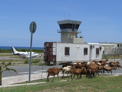 Good thing there is a fence between the airport runway and the main road as these goats would simply take over