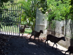 Goats act as if they own the island...one of the many herds that wander around the island of Nevis