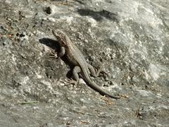 This lizard did its best to try to blend into the rest of its surroundings; Queen's Staircase