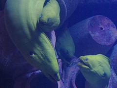 Green moray eels; Atlantis Resort