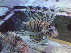 Lionfish...deadly but beautiful; Atlantis Resort