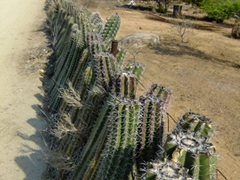 An effective cacti fence...the goats will still attempt to eat it despite its numerous thorns!