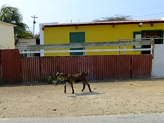 Goats on the side of the road are a common sight in Aruba