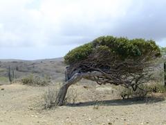 Divi trees grow hardily on this semi arid isle
