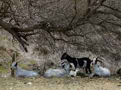 Goats resting under a shady tree to escape the mid day sun