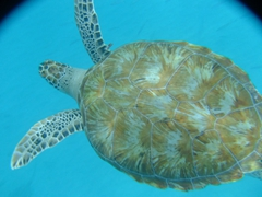 Closeup of the hawksbill turtle that Becky swam with