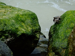 Crabs skillfully scurry from one algae covered rock to another