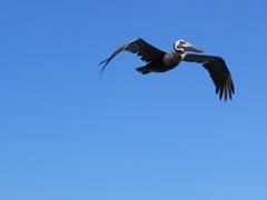 A pelican soaring overhead; Dickenson Bay