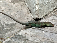 Another lizard soaking up the sun's rays at Antigua village