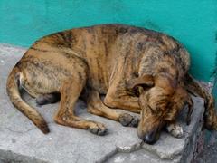 A sleepy dog soaks up the sun's heat; downtown Roseau