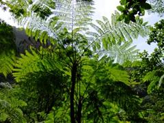 A giant fern tree; Trafalgar Falls