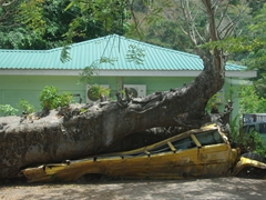 School bus crushed by an African Baobab tree (thankfully no one was inside it when it happened)