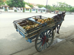 Delicious mangoes on this horse drawn cart