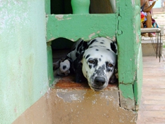 A dalmatian wistfully peers out at the street; Trinidad