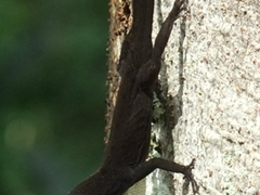 A black lizard flares its white neck pouch during a mating call; Topes de Collantes
