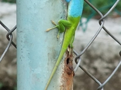 This multi-colored lizard caught our eye at the zoo; Casino Campestre