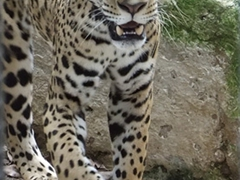 A jaguar roams restlessly at the zoo