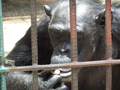 A chimpanzee expertly munches on a local fruit; Casino Campestre Zoo