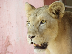 Close up of a lion; Casino Campestre Zoo