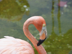 Pink flamingo; Casino Campestre Zoo