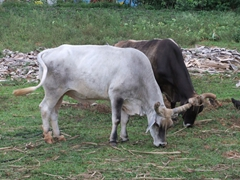 Cows grazing in the Vinales countryside