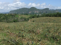 A pineapple field full of delicious, ripe pineapples; Vinales