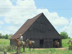 Horses led away from a tobacco shack; Vinales