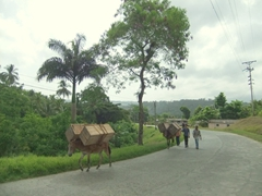 Donkeys transporting heavy loads uphill; road to Boca de Yumuri