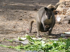 Wallaby rummaging for food, Loloata Island