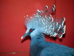Crown pigeon, Loloata Island