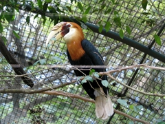 Hornbill, National Botanical Gardens