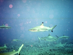 Blacktip reef sharks - a common sight in Tahiti!