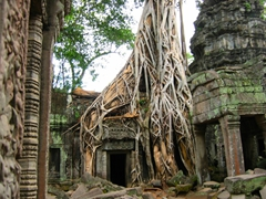 A common sight in Ta Prohm, tree roots growing between temple ruins