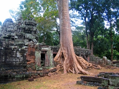 An enveloping tree at Banteay Kdei