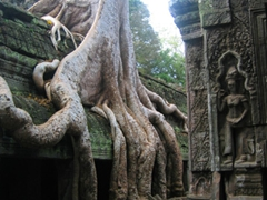 Unlike most Angkor temples, Ta Prohm has been left its original condition, making for an atmospheric series of photos with the overgrown trees engulfing the temple ruins